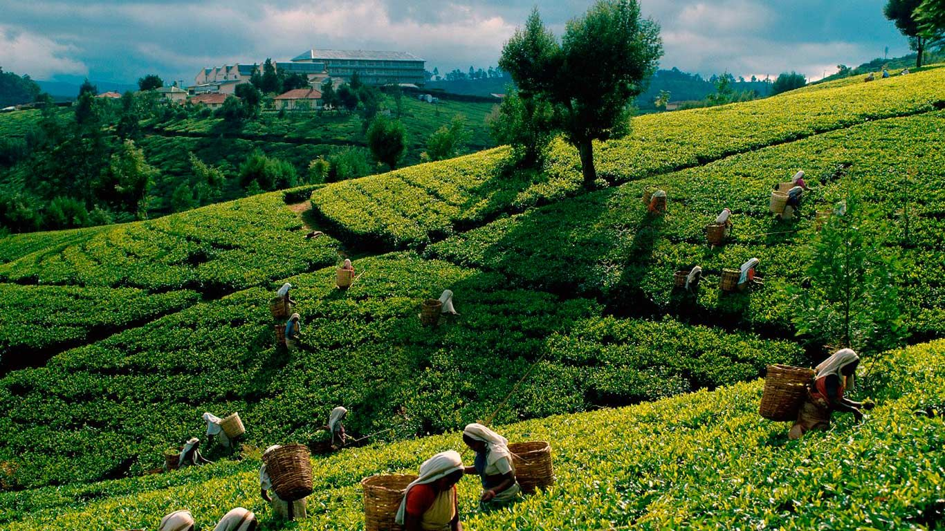 Image result for sri lanka tea plantation