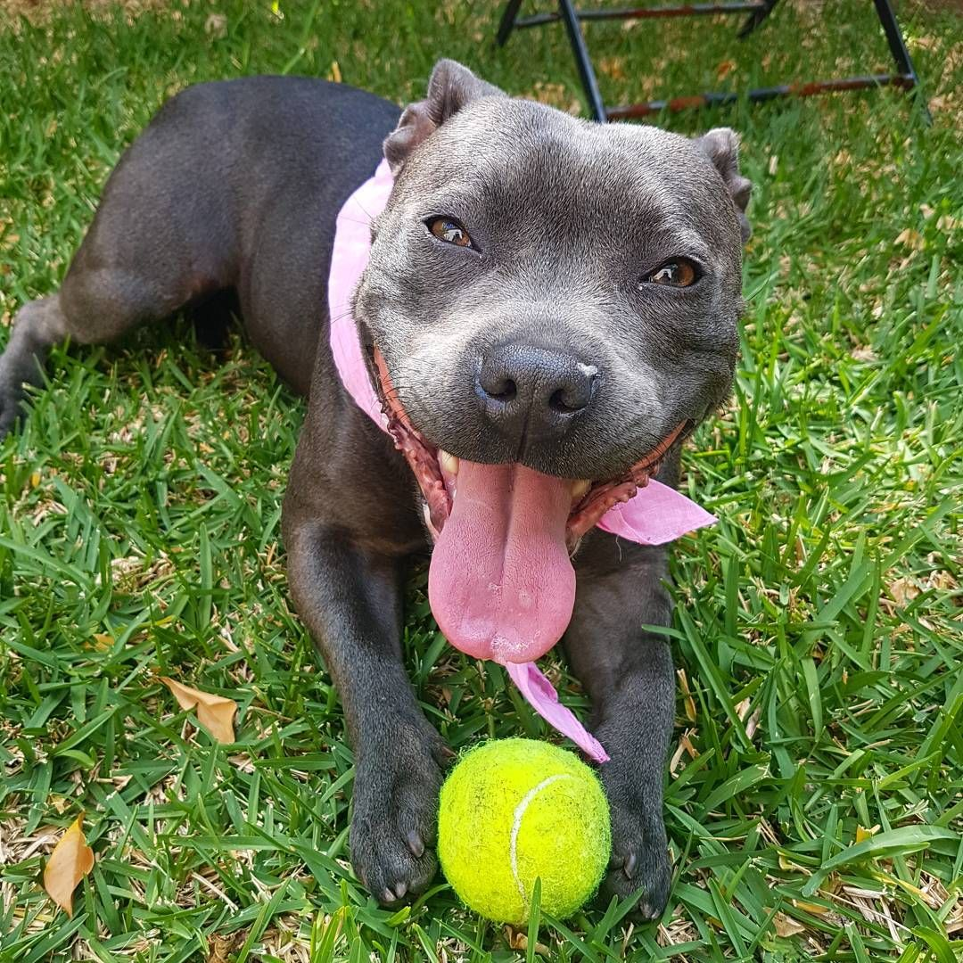Blue Pits Or Blue Nose Pitbulls Find Themselves In A Unique