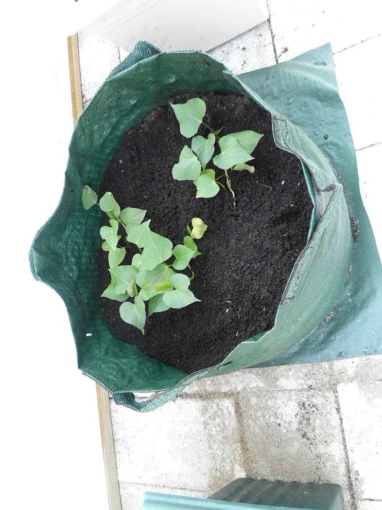 Heres this years experimentsweet potatoes being grown
