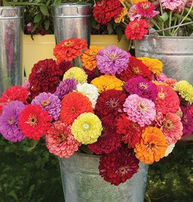 Zinnia When Collecting These Flowers For Vase Use Always Cut Early