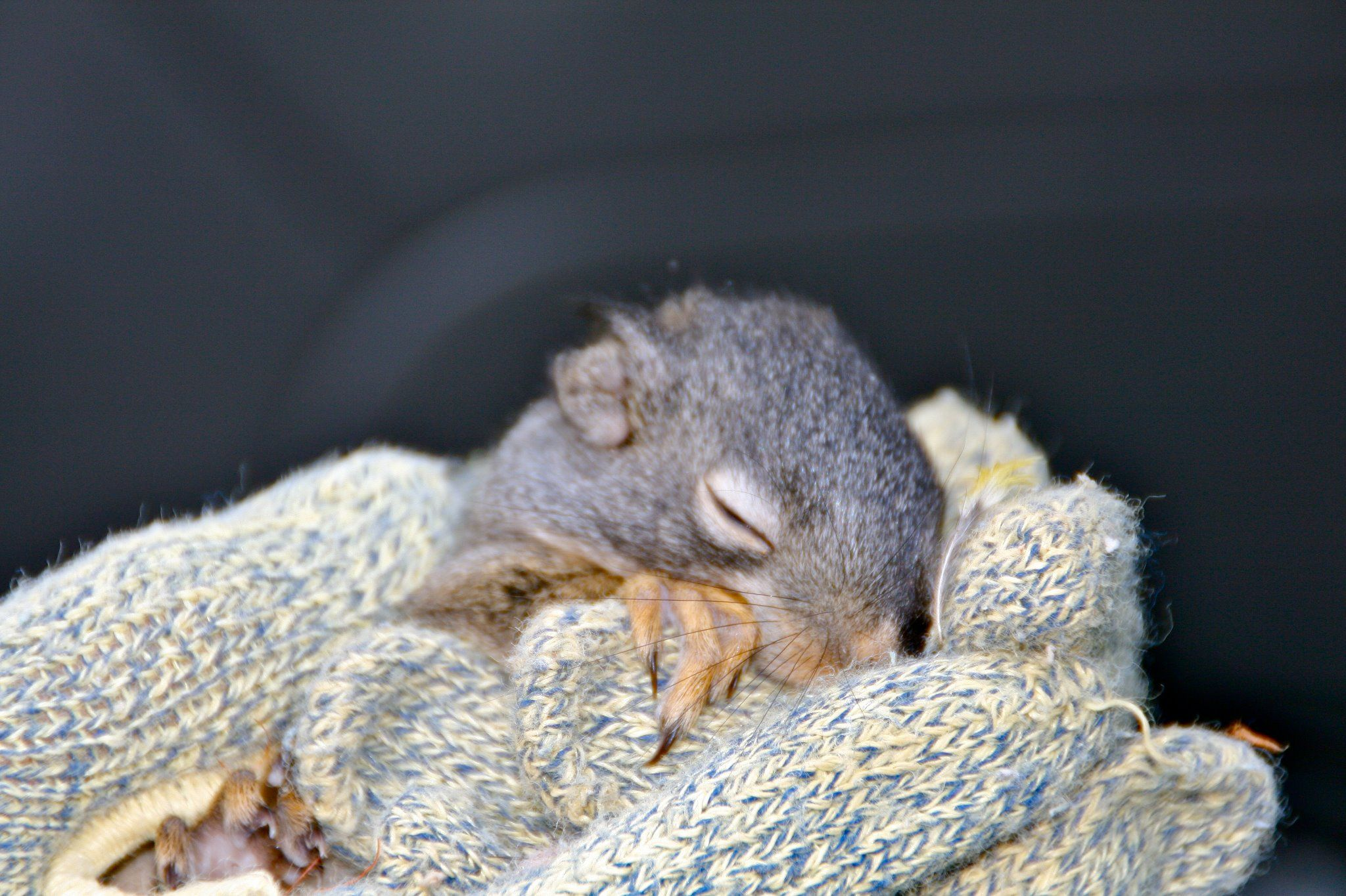 This is a baby squirrel my husband found in a tree after a tree falling project. Being the amazing man he is he immediately contacted our local wildlife rescue center and this little guy is now thriving and was recently released back in the area he came from.