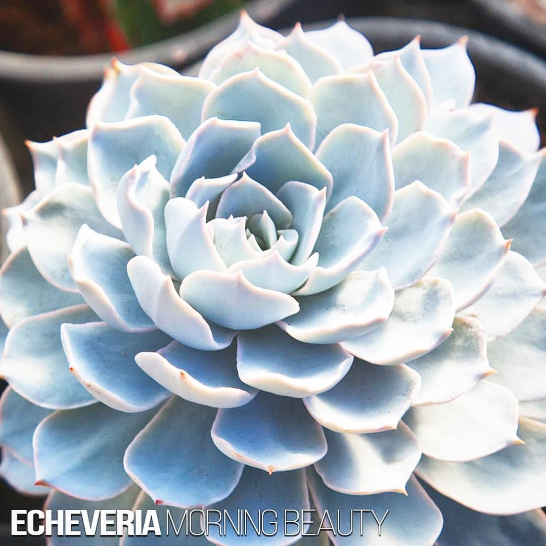 echeveria morning beauty from somewhere in mexico morning beauty is