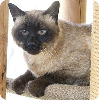 Chicago Il Siamese Meet Ernie A Cat For Adoption Cat Adoption Pet Adoption Kitten Adoption