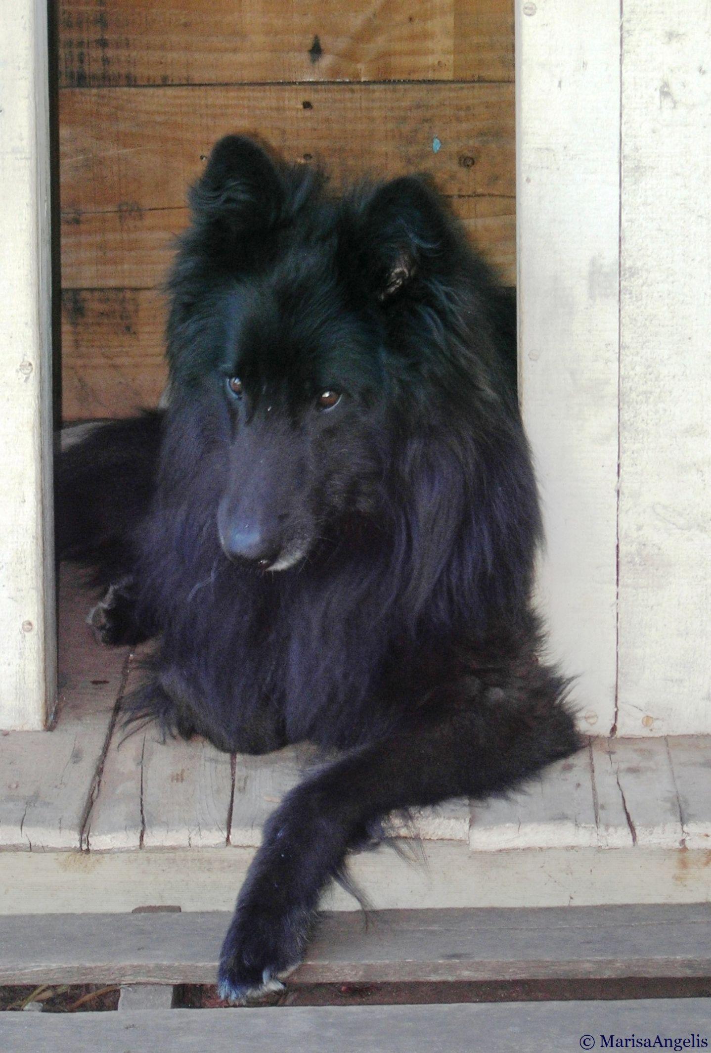 Belgian Shepherd Groenendael Known As A Sheepdog In The Us
