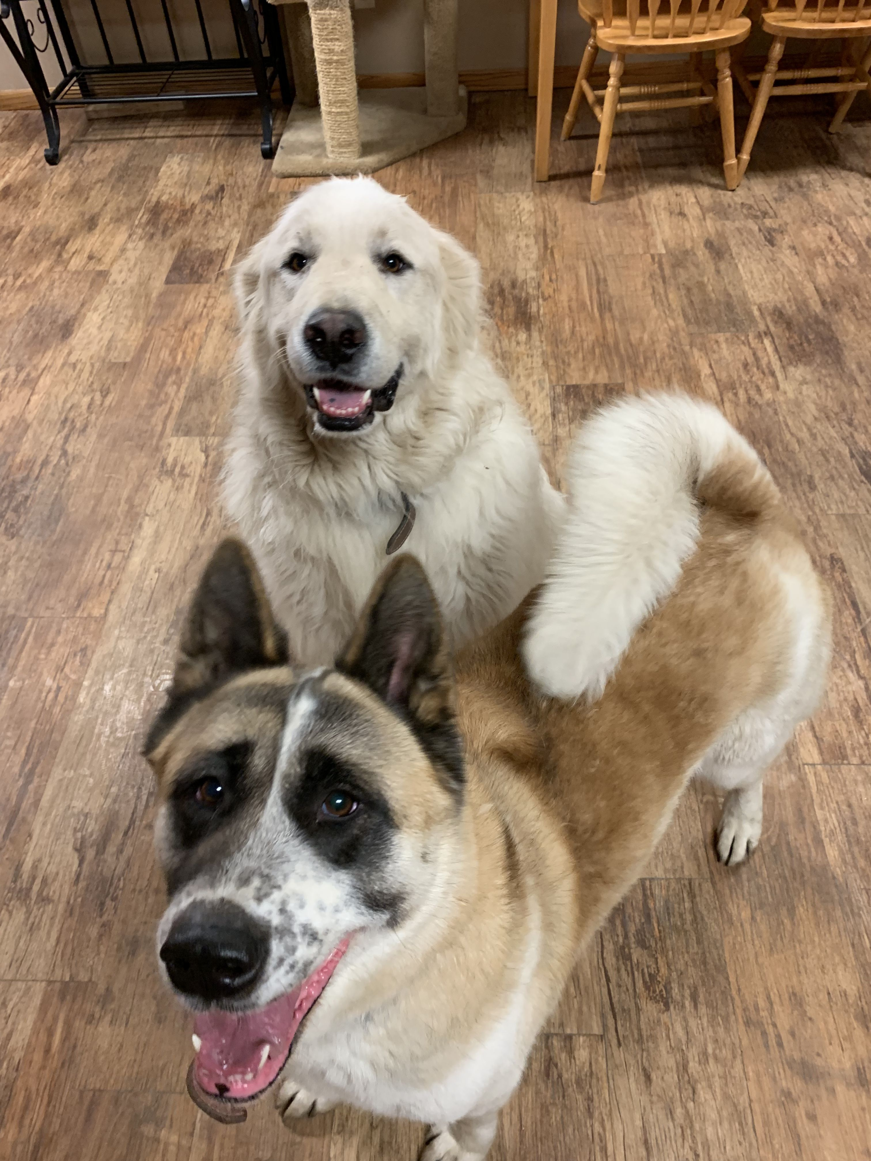 Adopt Atlas Morah Bonded Pair On Petfinder Great Pyrenees