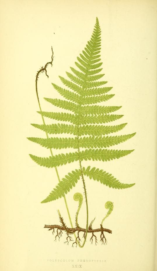1856-60  -  Ferns: British and exotic... By  Lowe, E. J.