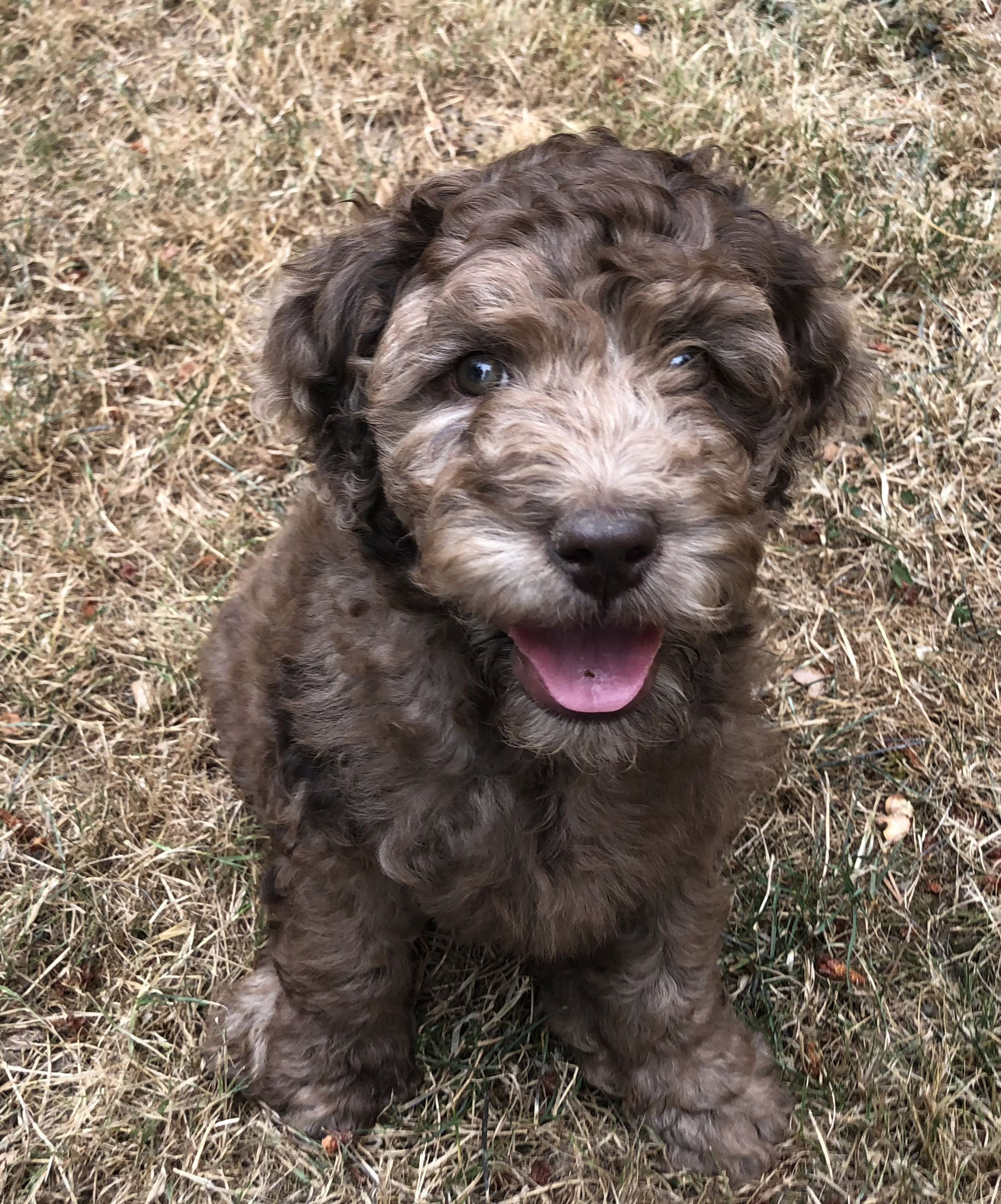 Chocolate Merle Labradoodle Labradoodle Labradoodle Puppy Dog