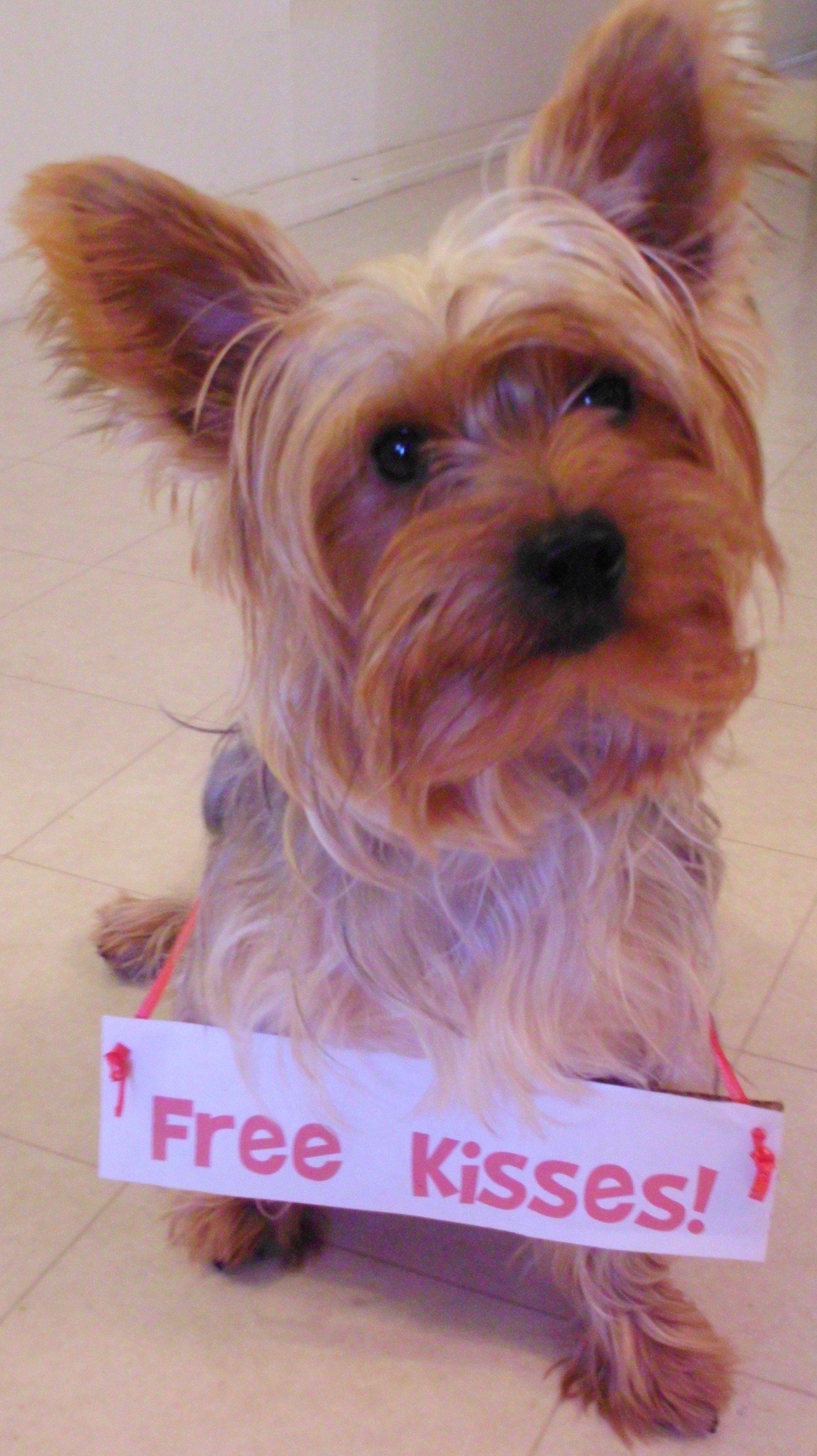 Free Kisses Yorkie Perros Cachorros Animales