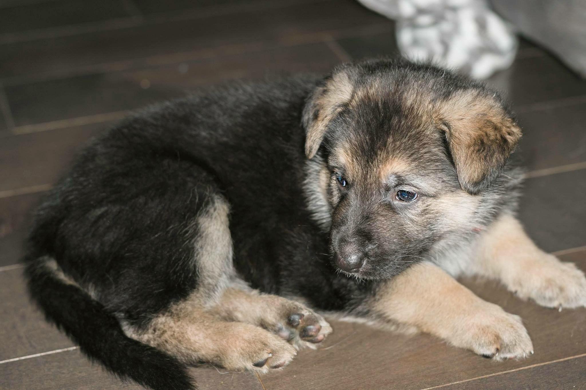 German Shepherd pup. Puppy dog photo. Pup photography