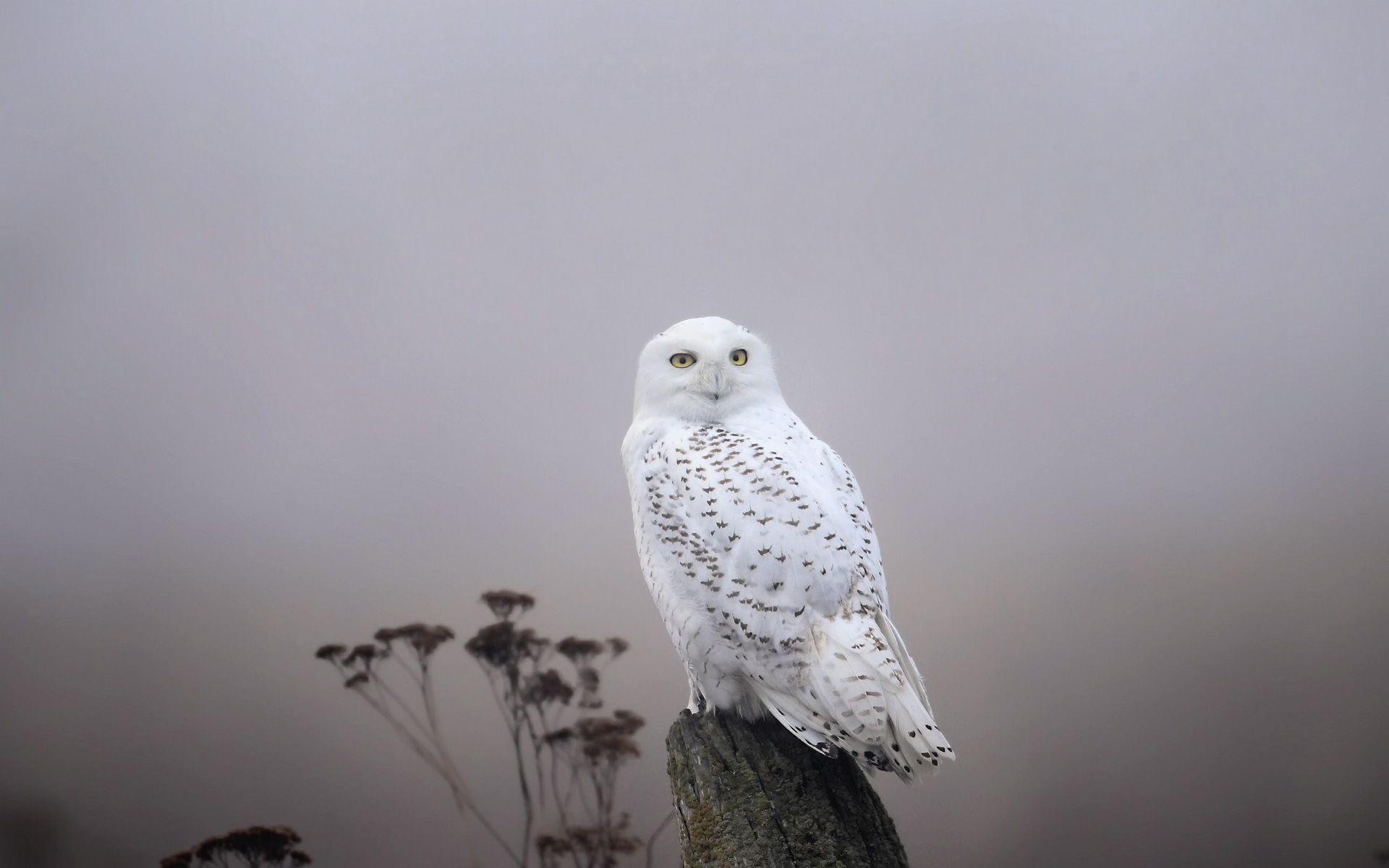 White Owl Wallpaper Google Search