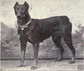 Google Image Result for http://upload.wikimedia.org/wikipedia/commons/c/cf/Dobermann_Pinscher_from_1915.JPG