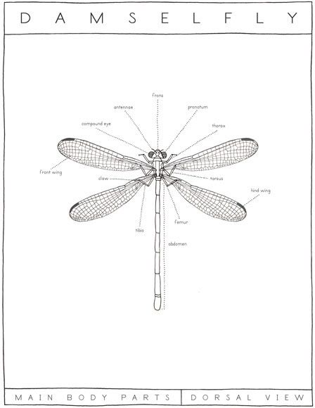 Damselfly Diagram Ericaglover Dragonfly Pinterest