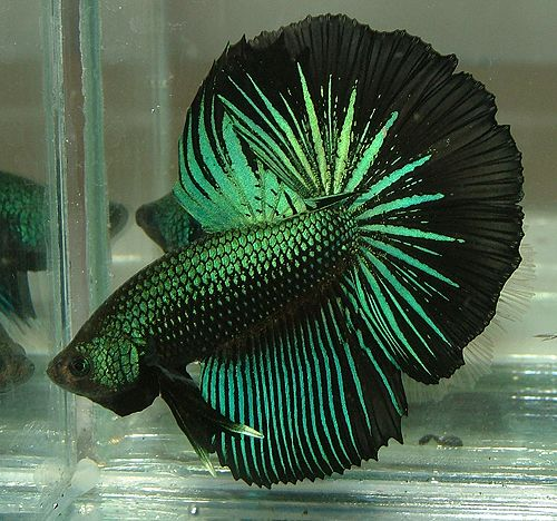 35 Beautiful Types Of Betta Fish With Amazing Pictures Fins And