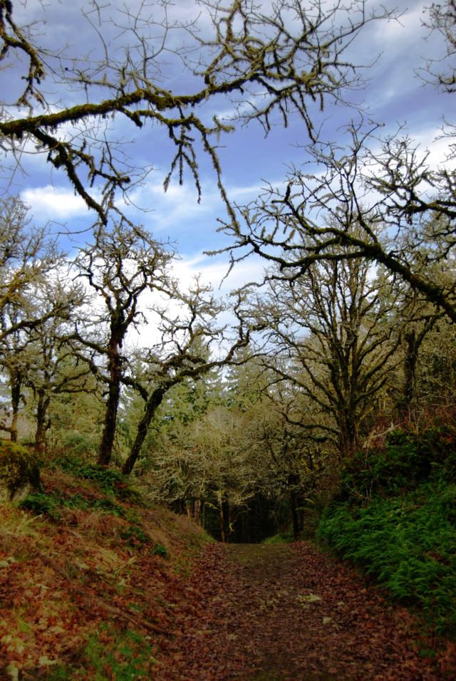 canemah trail oak trees