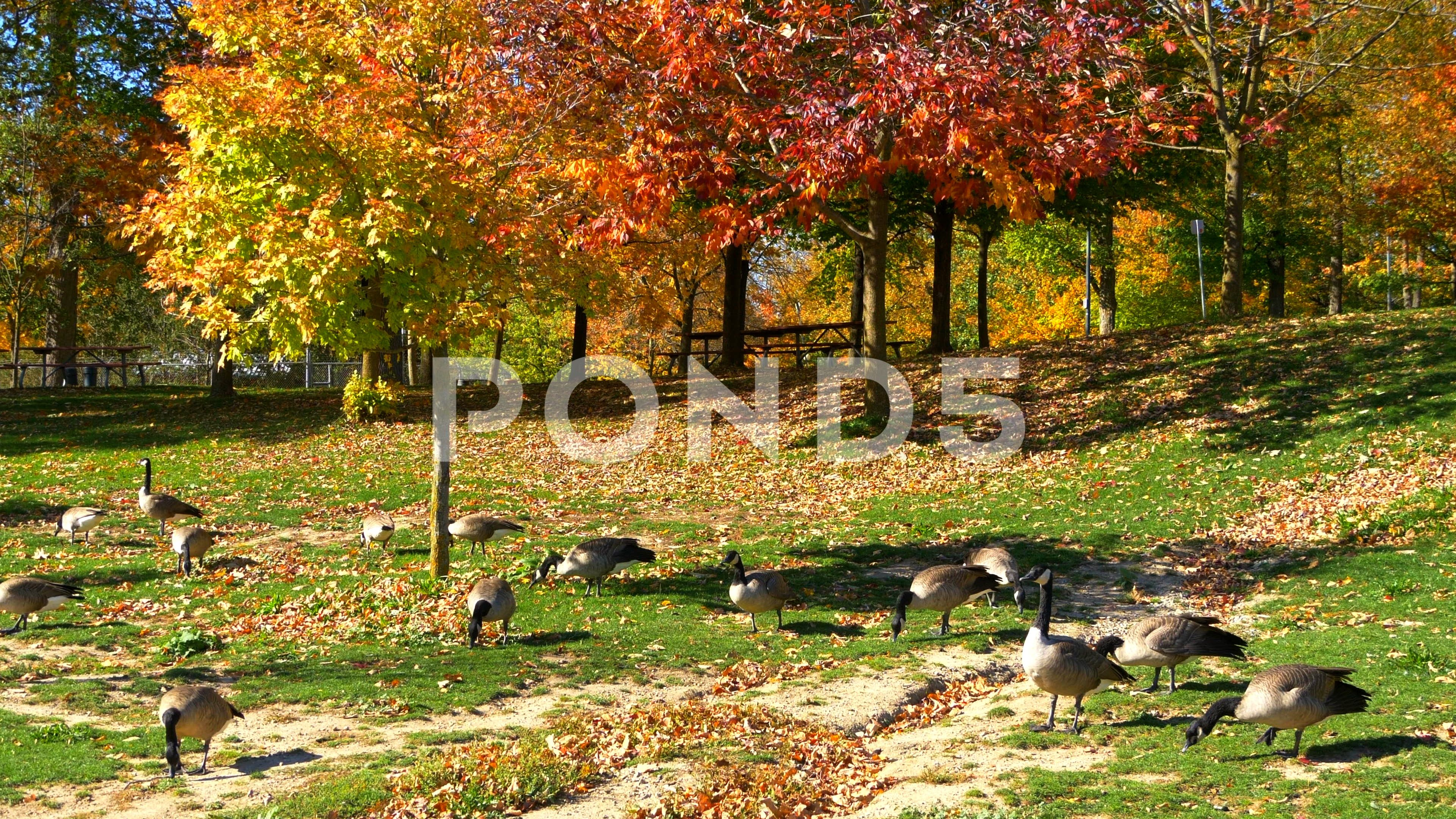 Canada Geese in Autumn Fall Park, Goose Bird Animals
