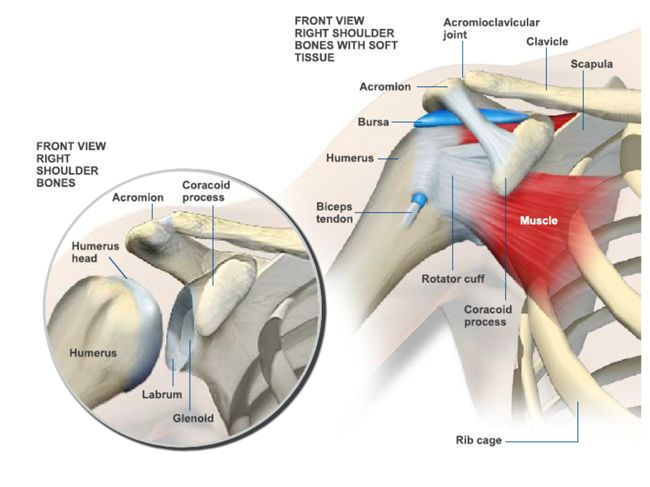 Anatomy of the Shoulder - Florida Medical Clinic - Orthopaedic ...