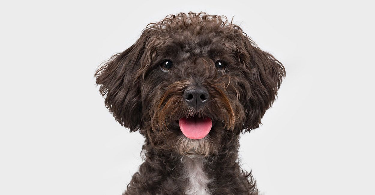 Schnoodle Dog Your Complete Guide To The Schnauzer Poodle Mix Breed Schnoodle Dog Schnoodle Puppy Schnoodle