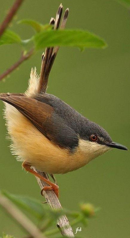 Tjiftjaf Vogeltjes Vogels Natuur