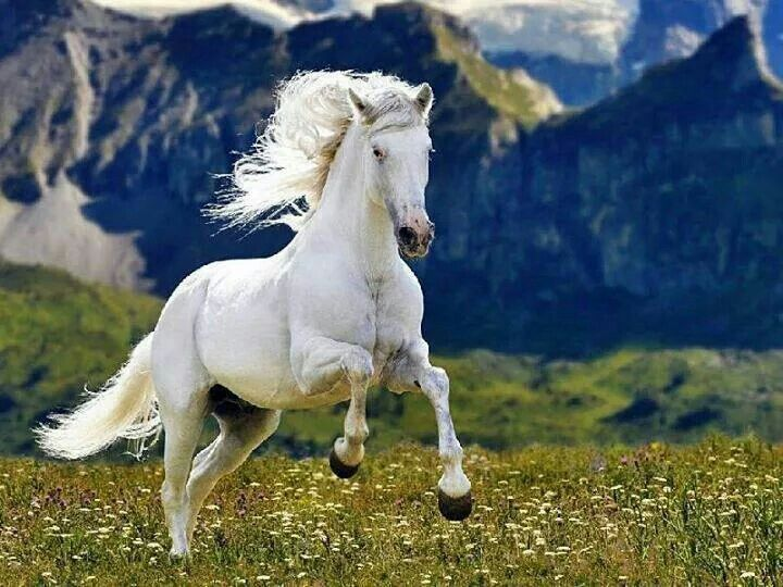 White Horse Running In The Field Horses Beautiful Horse Pictures Horse Pictures
