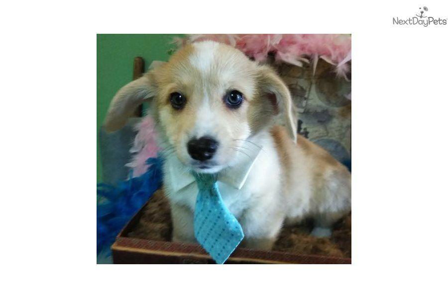 Dumbo Welsh Corgi Pembroke Puppy For Sale Near Jacksonville Florida 8b99c9f3 Bb01 Corgi Welsh Corgi Pembroke Welsh Corgi Puppies