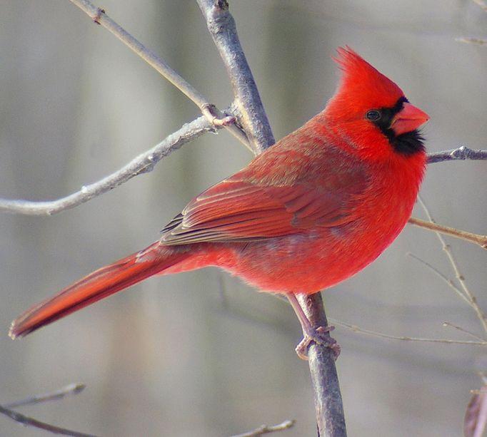 Northern Cardinal Illinois State Bird Red Birds State Birds South African Birds