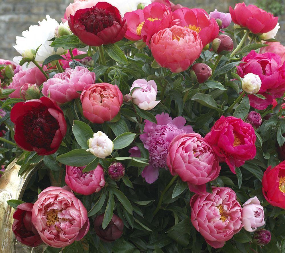 Roberta S 3 Piece Bounty Of Blooms Victorian Peony Collection Qvc Com Growing Peonies Peonies Garden Peony Bulbs