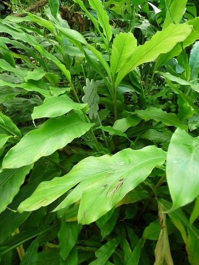 plante exotique medicinale