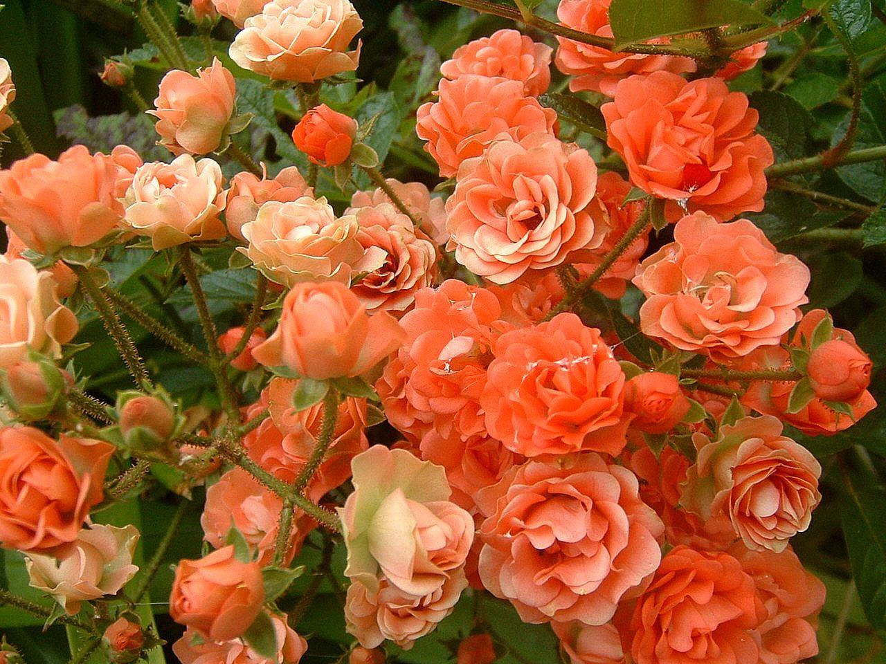 >Rosas de Santa Teresinha