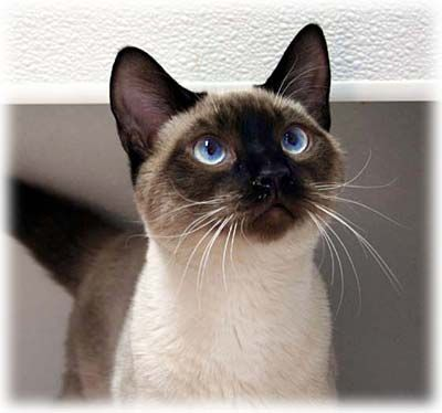 I think my cats would like this much better, though--not that they want any more company, but I adore Siamese