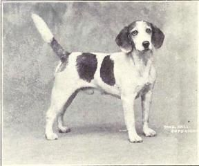 Beagle 1915 Dog Breeds Retro