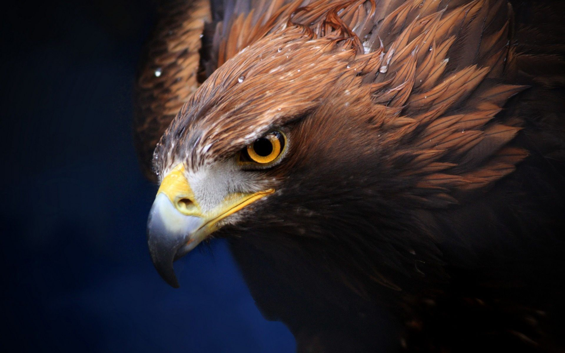 #Golden #Eagle #wallpaper #background #widescreen for # ...