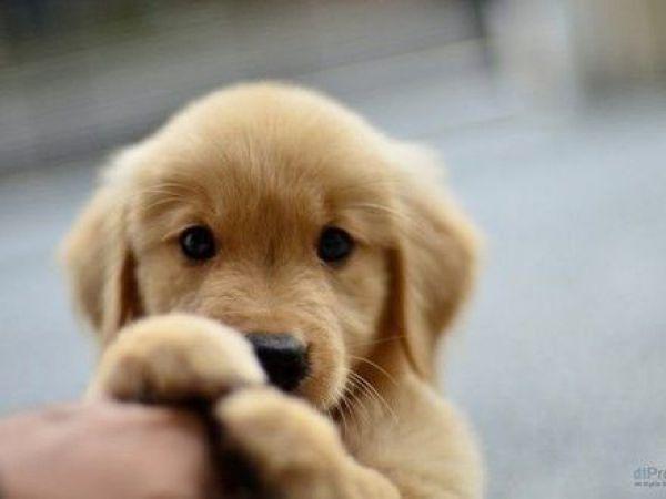 9 Golden Retriever Welpen Die Man Gesehen Haben Muss Retriever Welpen Hundebabys Welpen
