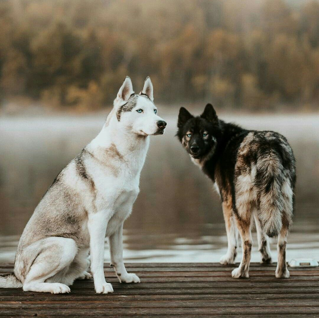 Siberianhusky Siberian Husky Puppies Husky Wolf Husky