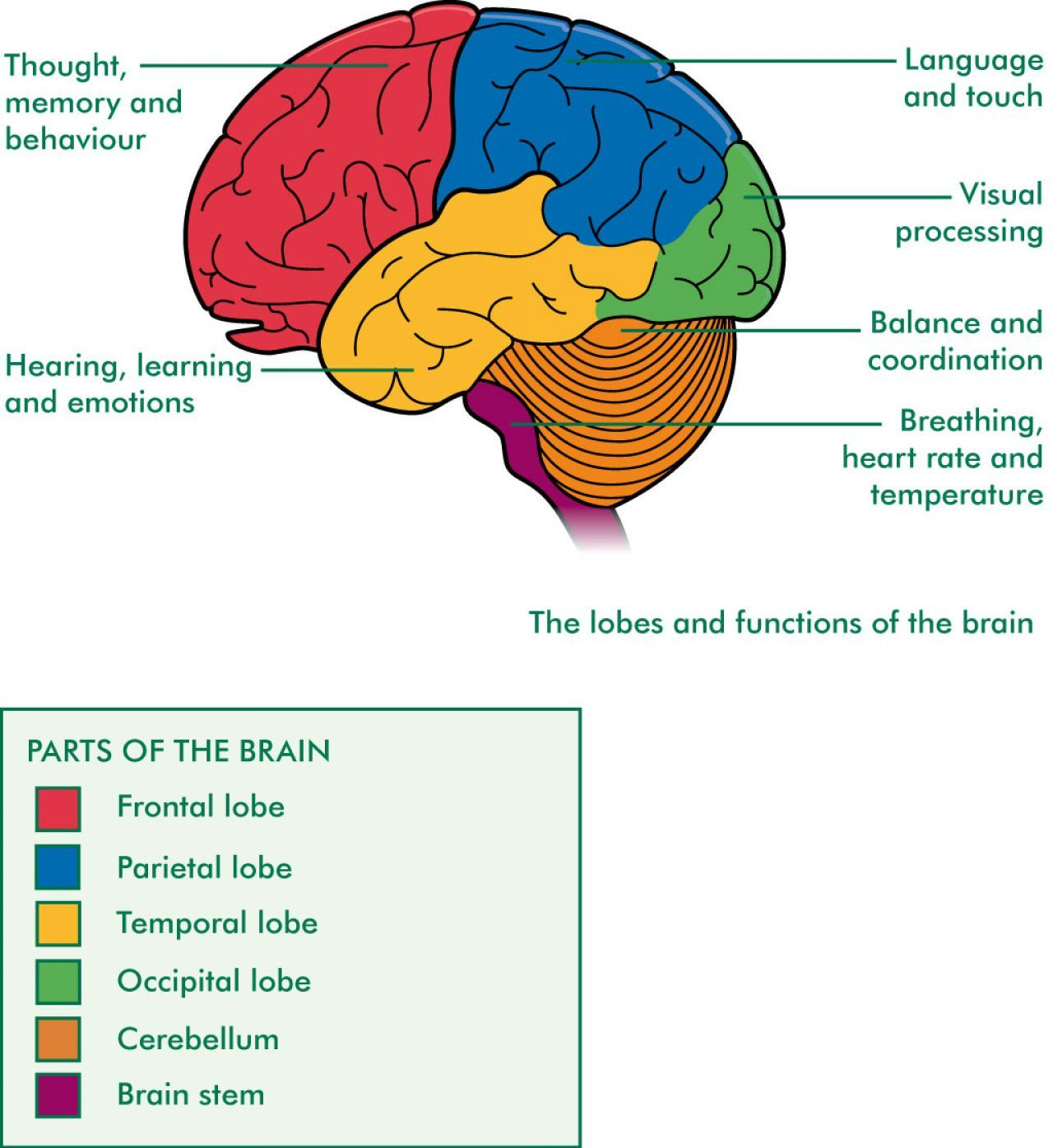 Brain Diagram With Functions Nervous System Structure