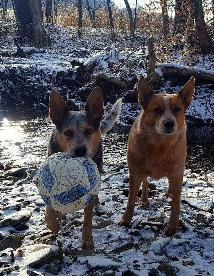 Pin by Billie Jean Littiken on Australian cattle dogs