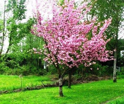Backyard Diehard Another Steeltown Story Flowering Cherry Tree Dream Backyard Garden Inspiration