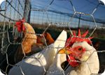 """Concerned: """"FDA finally admits chicken meat contains cancer-causing arsenic (but keep eating it, yo!)"""" Brenda P-E"""