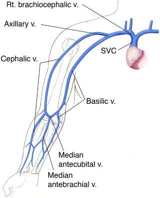 cephalic vein course – applecool, Cephalic Vein