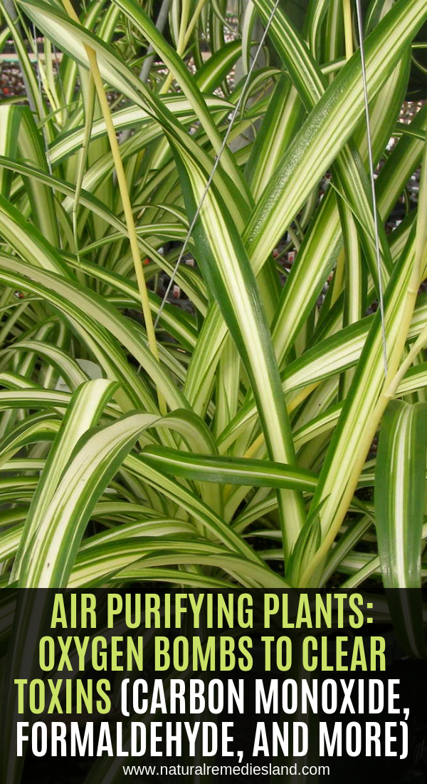 Air Purifying Plants Oxygen Bombs To Clear Toxins Carbon Monoxide Formaldehyde And More Natural Teething Remedies Herbal Cure Herbal Remedies