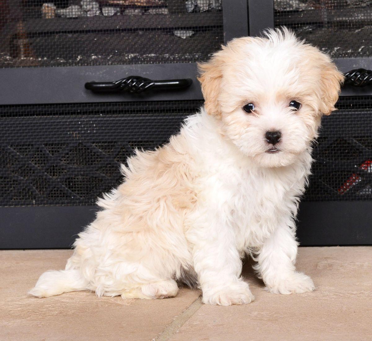 Puppies For Sale Havanese Puppies Havanese Havanese Dogs