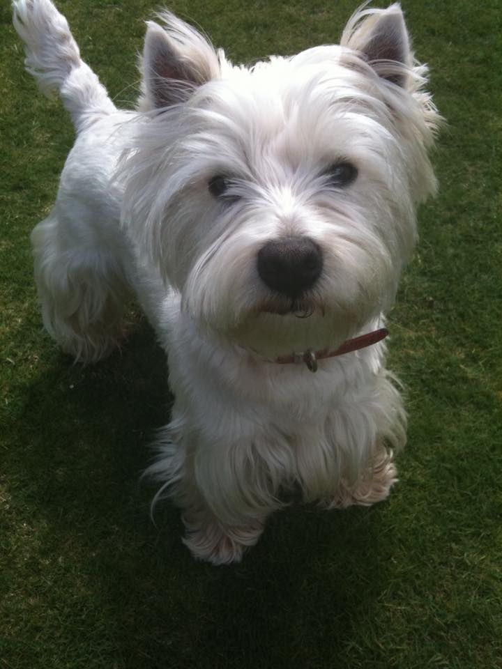 Hamish From Perth Australia Westie Puppies Westies West Highland Terrier