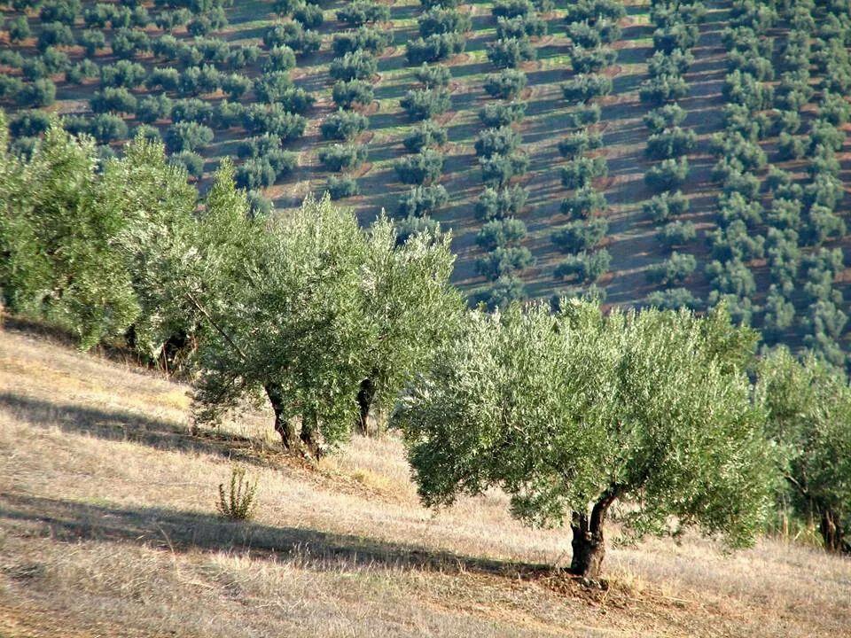 Olivares de Jaén. Autor : desconocido #olive groves in Jaén (Spain ...