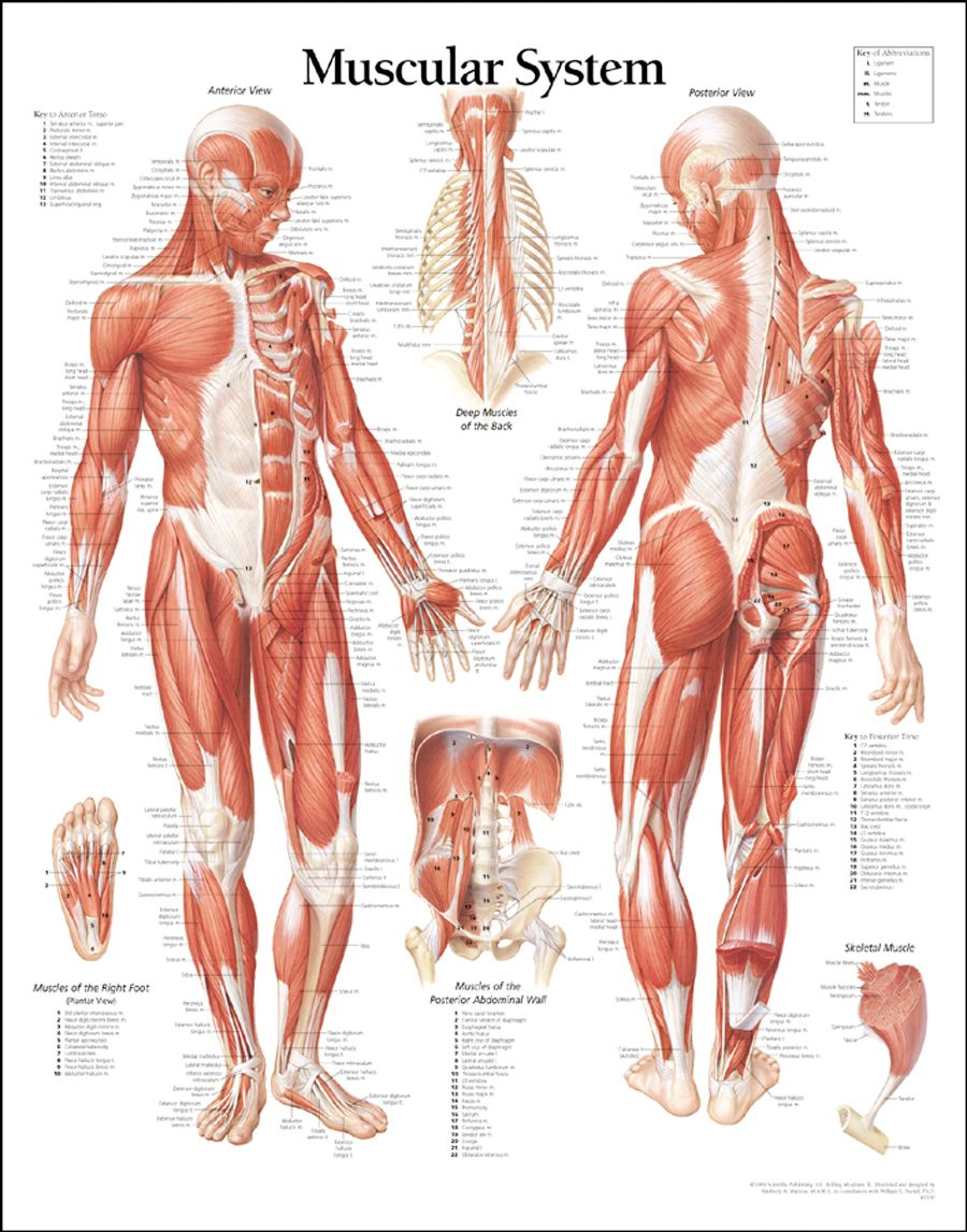 Abdominal Muscle Anatomy Diagram | artistic reference | Pinterest ...