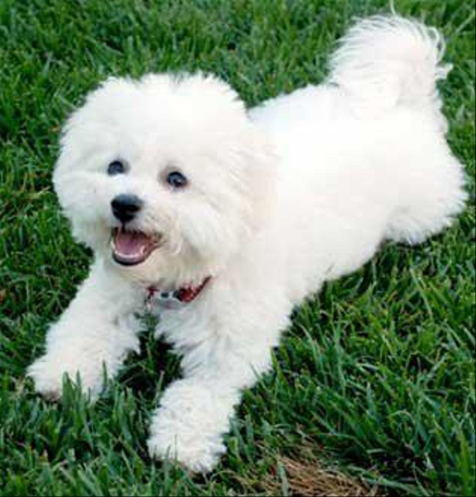 Bichon frise puppies for sale in california legend