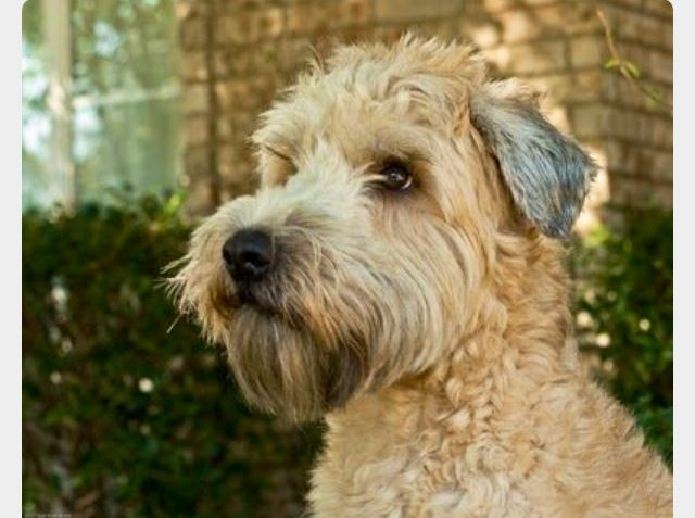 soft coated wheaten terrier haircut photos diesel soft soft coated wheaten terrier wheaten terrier soft coated