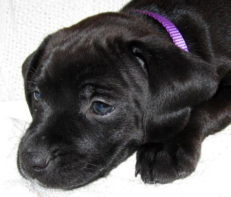 Boxer And Black Lab Mix Puppies Boxer mix puppies, Lab