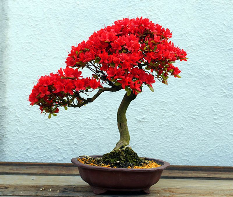 Bonsai tree by american rhododendron society on