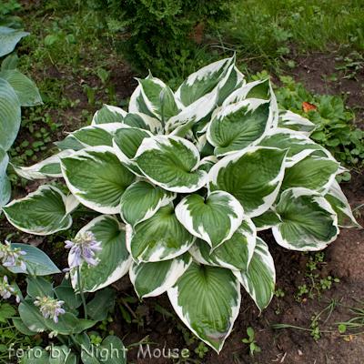 Hosta Zagers White Edge Gardening Hosta Varieties Shade Plants