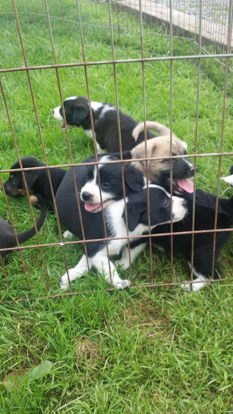 Adopt fuzzy border collie puppy on petfinder in 2020