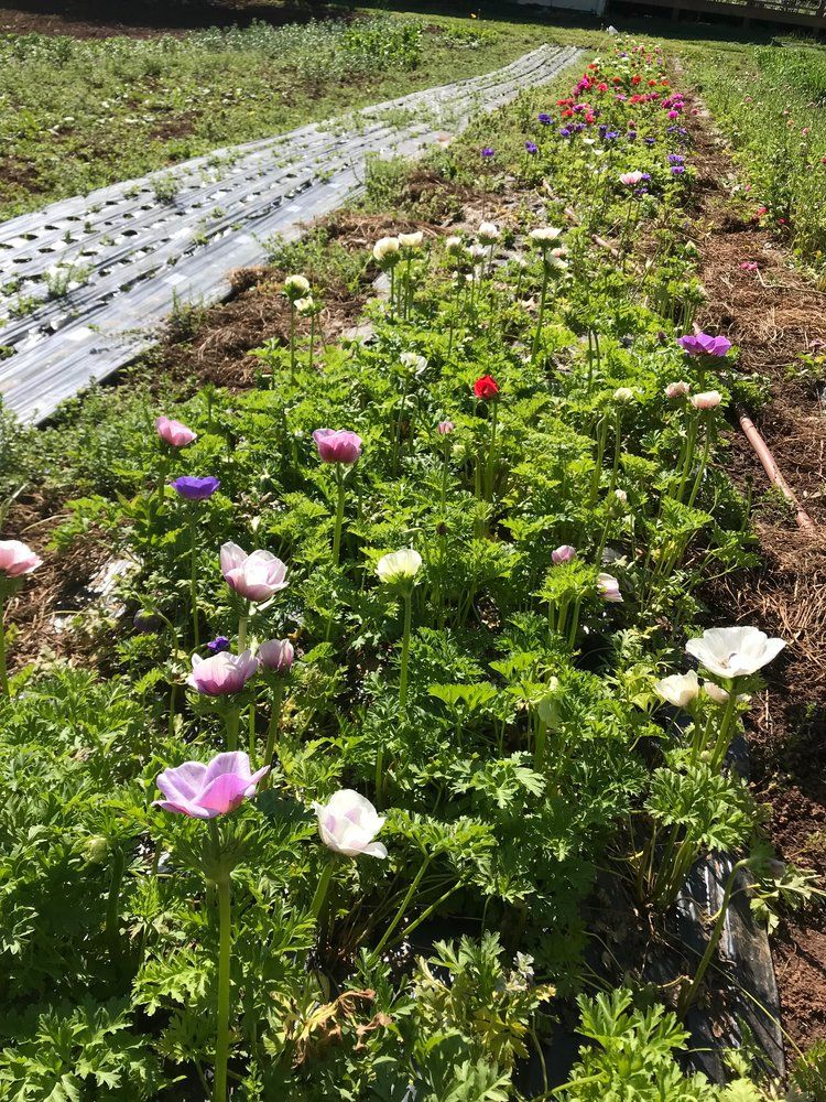 How To Grow Anemone Flowers A Quick Yet Comprehensive Guide Anemone Flower Long Lasting Flower Anemone